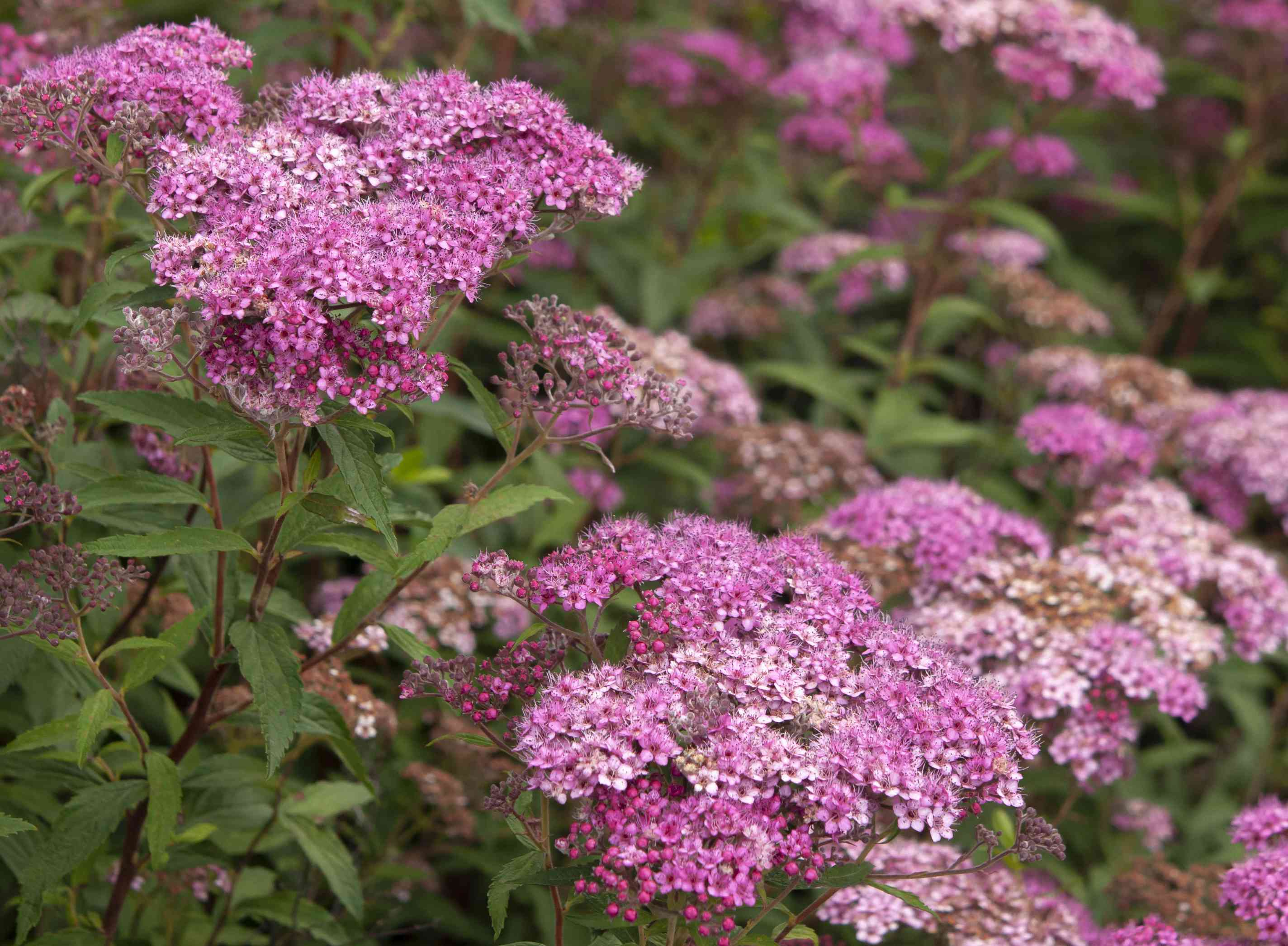 Neon flash spirea shrub with deep and light pink flower clusters on branches with leaves