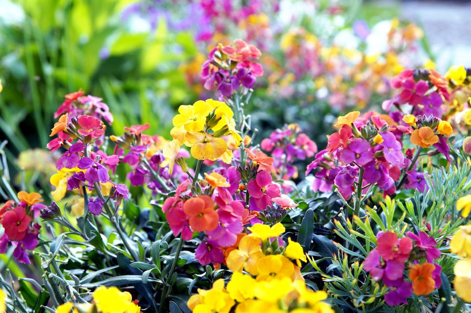 A photo of Erysimum flowers (also called wallflowers) in a variety of colors planted outdoors.