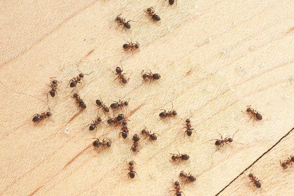 ants on wooden floor