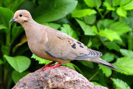 Close-up of a mourning dove - Most Common Backyard Birds