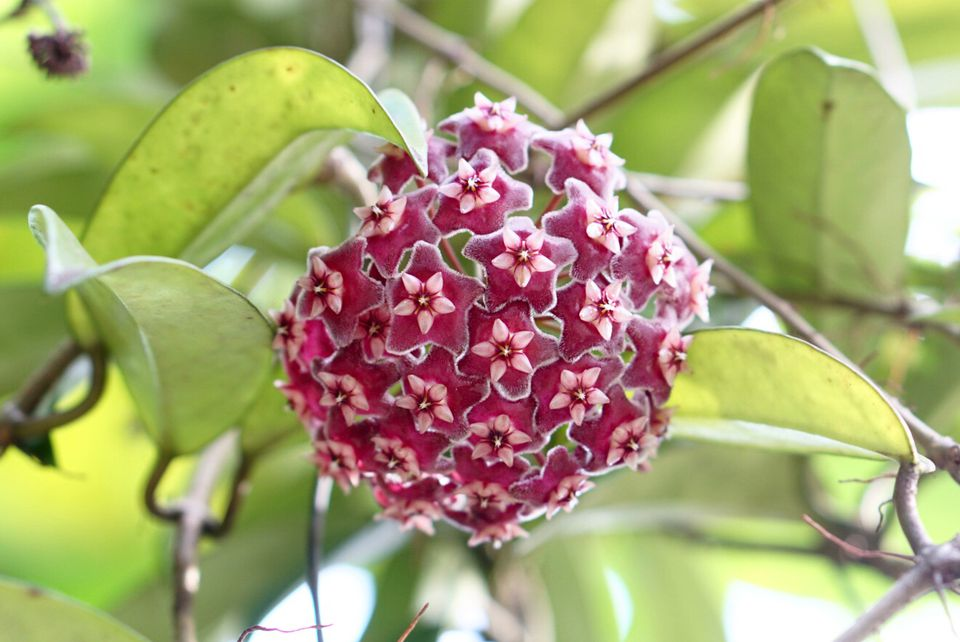 Hoya plant with red star shaped flowers in ball-like cluster