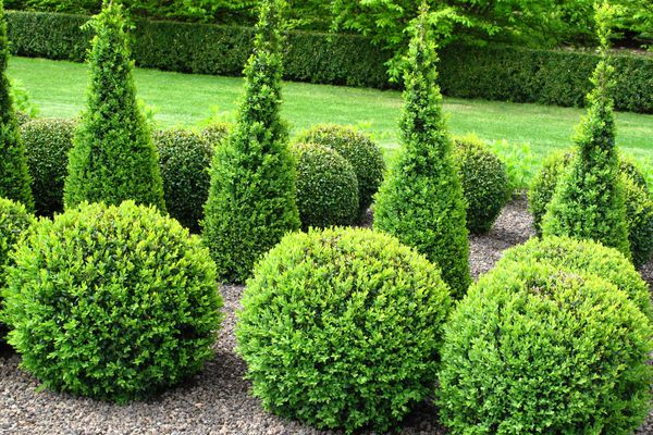 Boxwood topiaries with ball shape.