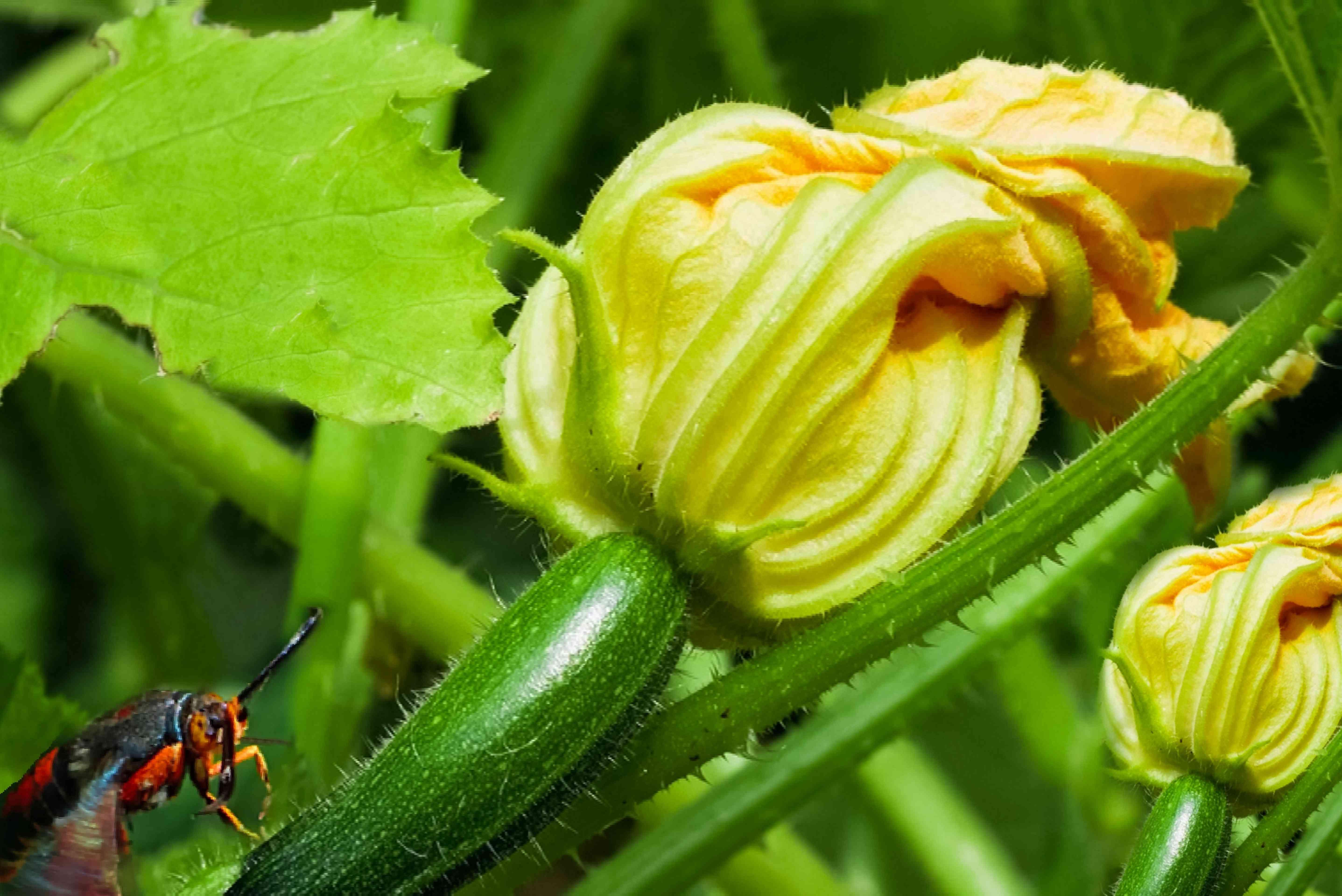 zucchini pests