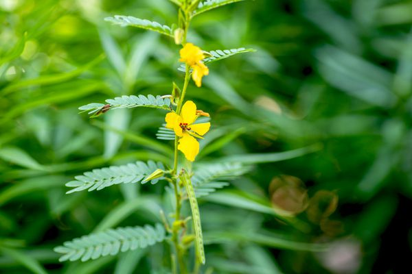 Partridge pea plant with small feathery leaves and yellow flowers closeup