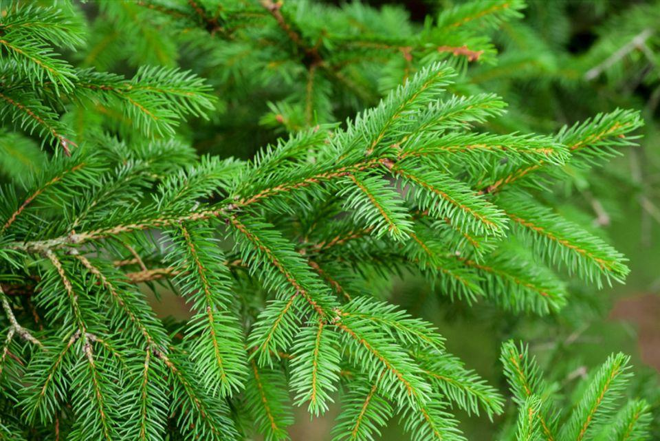 evergreens versus conifers