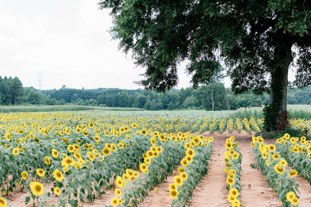 rows of sunflowers