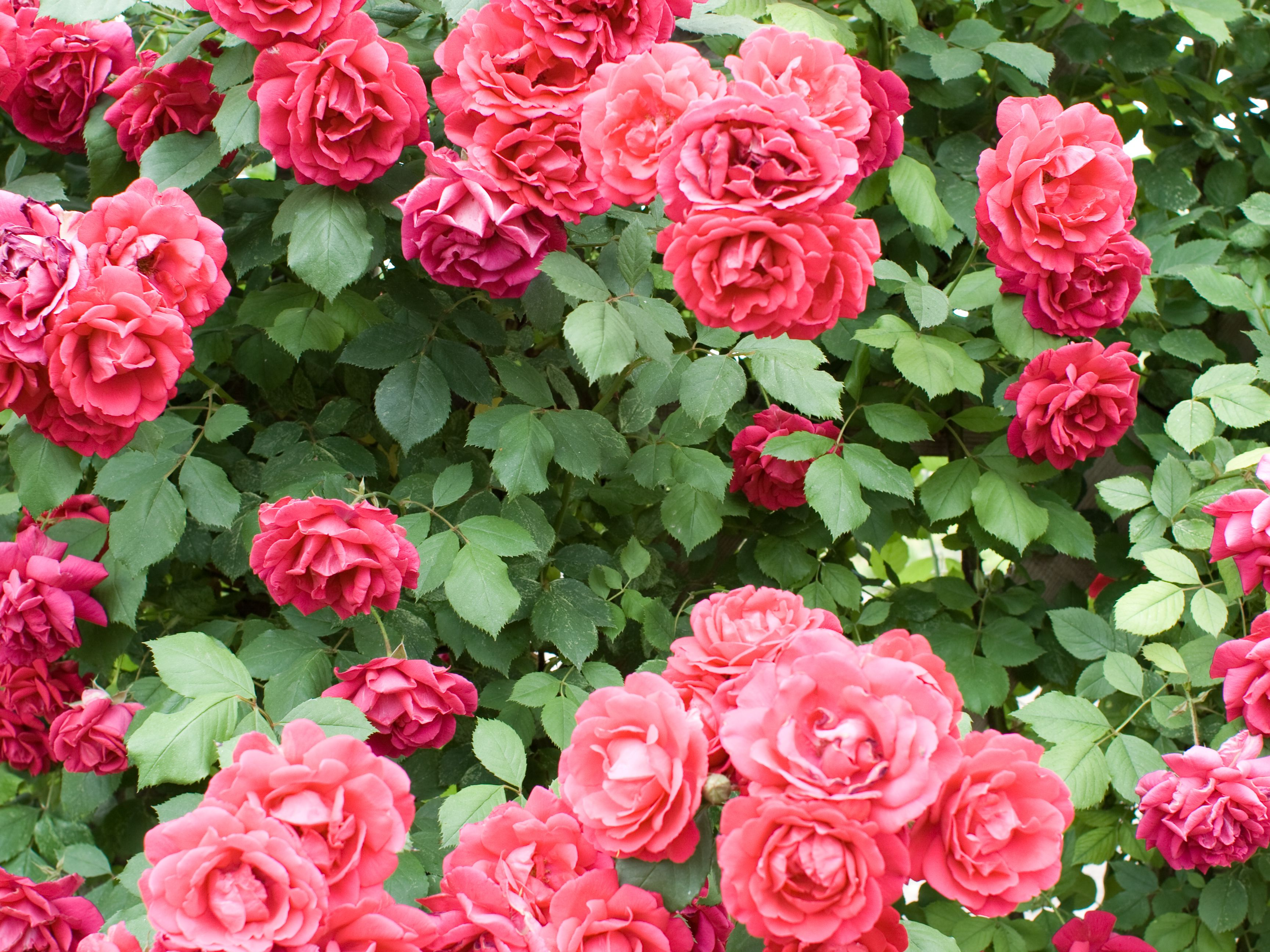 How To Care For Your Roses In Spring