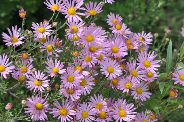 Painted daisy flowers with light pink petals and yellow centers closeup