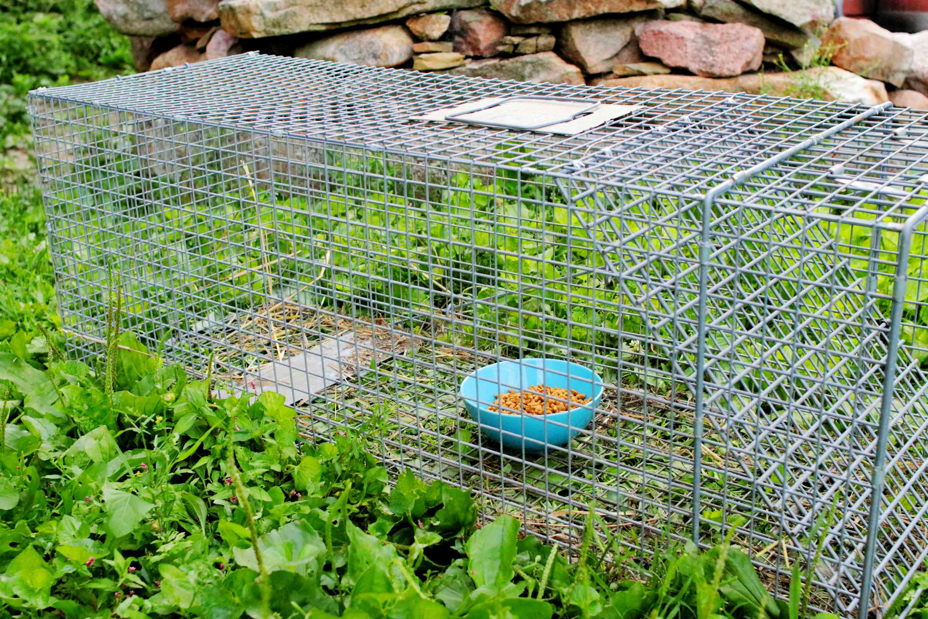 Spring-loaded metal humane trap to catch feral cats with blue bowl of cat food