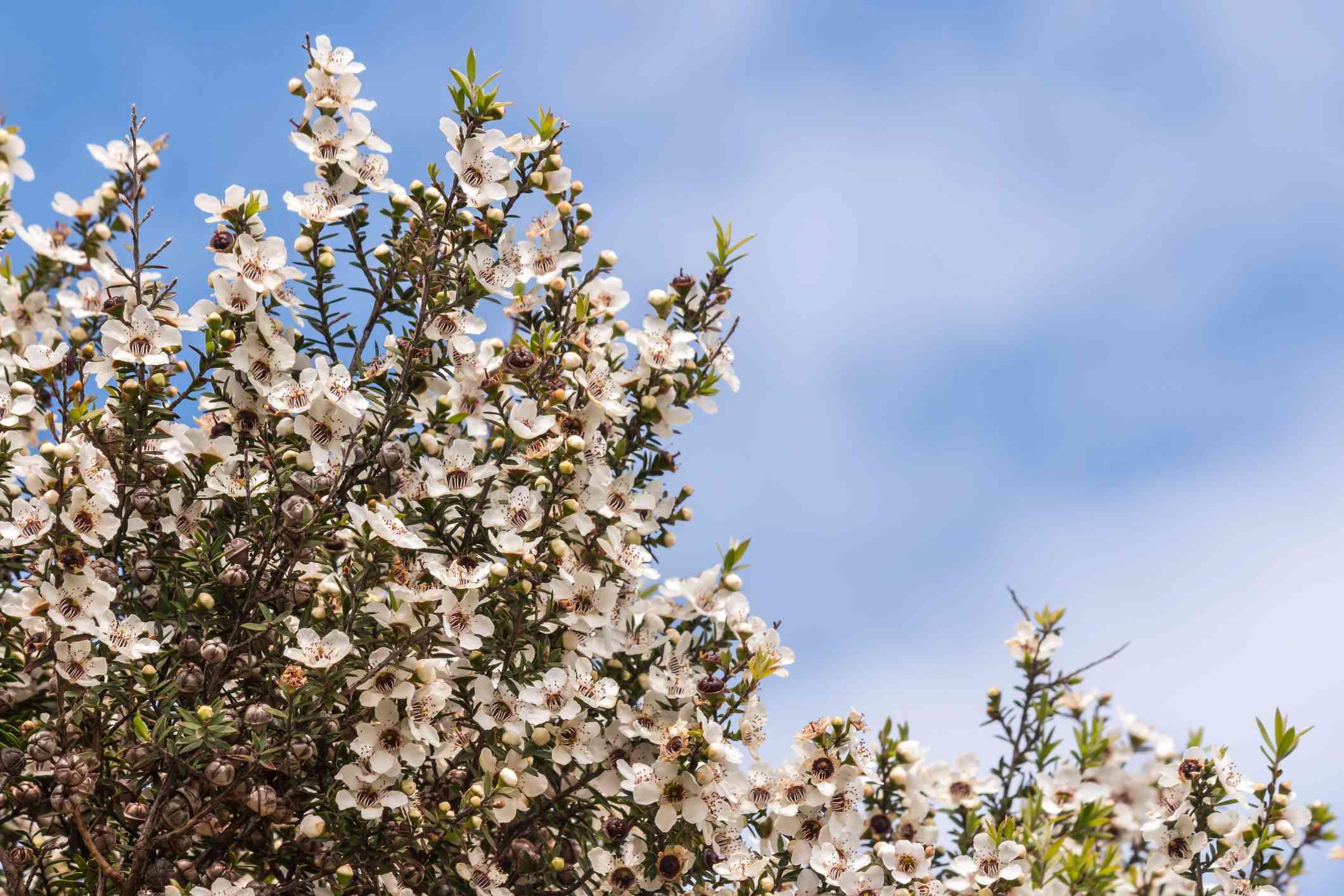 flores de árbol de manuka blancas contra el cielo azul con copia espacio arriba