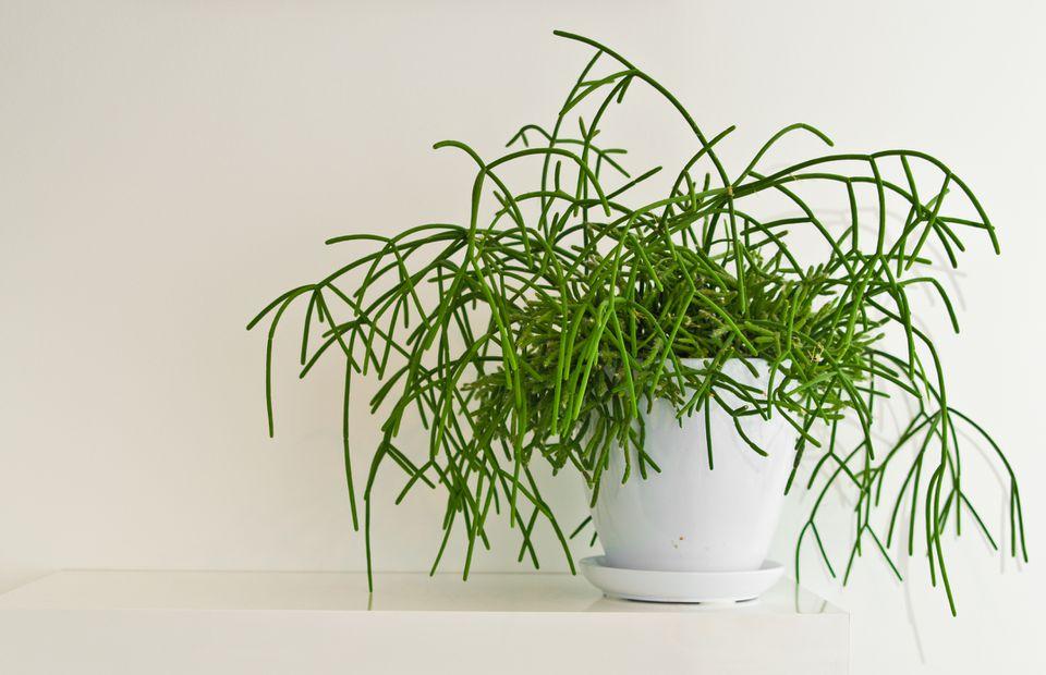 A mistletoe cactus (Rhipsalis baccifera) in a white pot against a white wall.