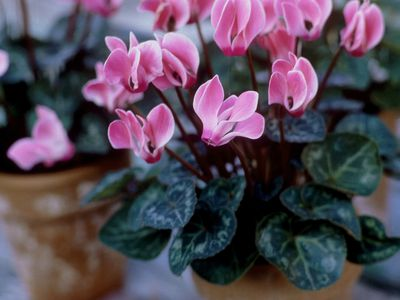 How to care for cyclamen plants tips on growing miniature and micro cyclamen plants houseplant basics mightylinksfo