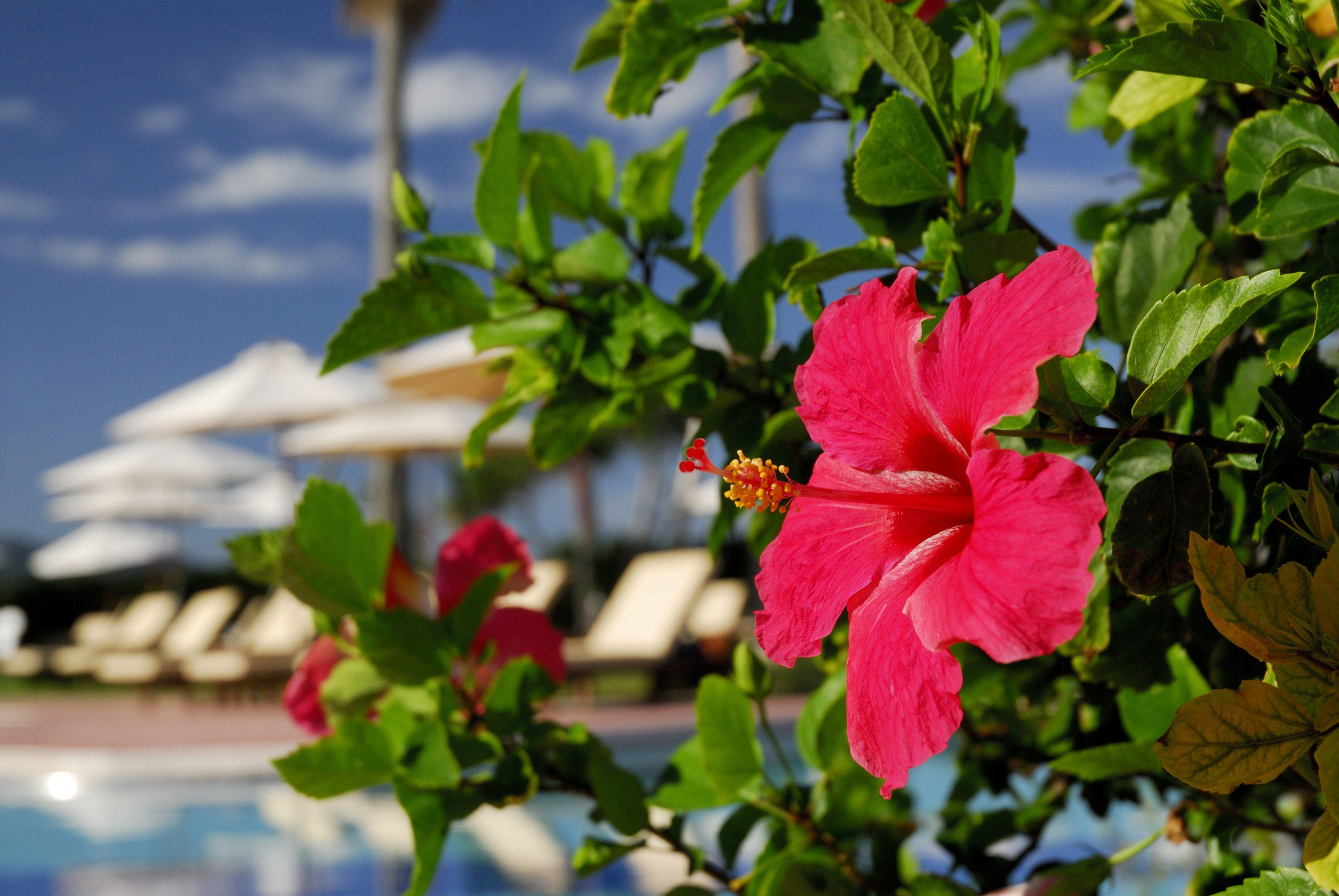 hibiscus next to pool