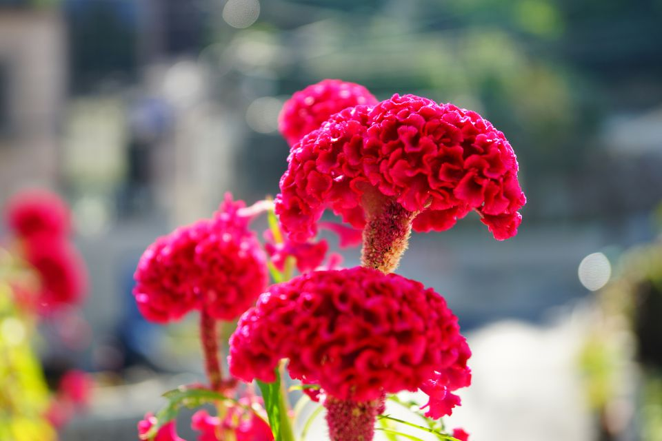 Red Cockscomb Flowers
