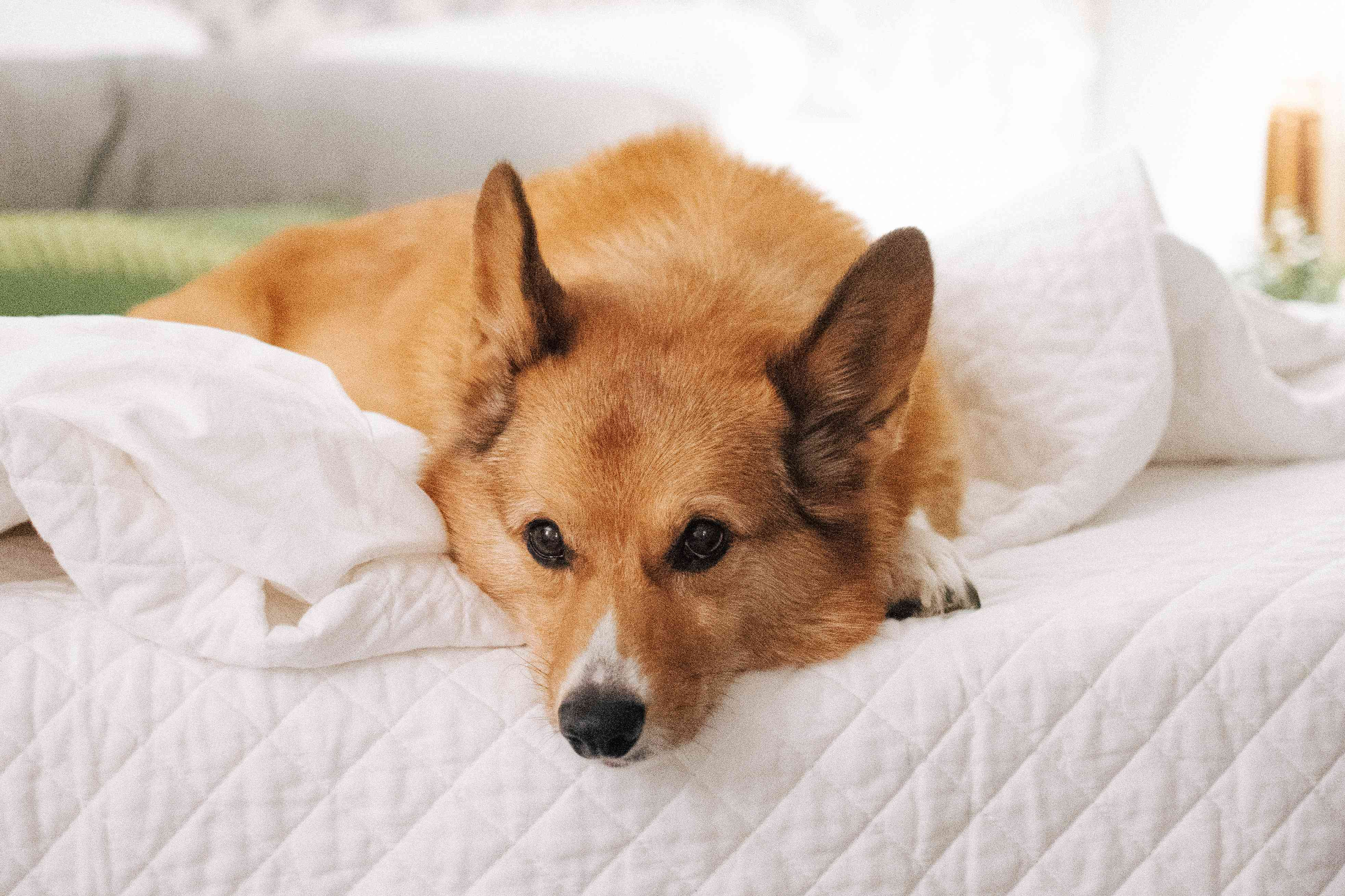 pet dog on a bed