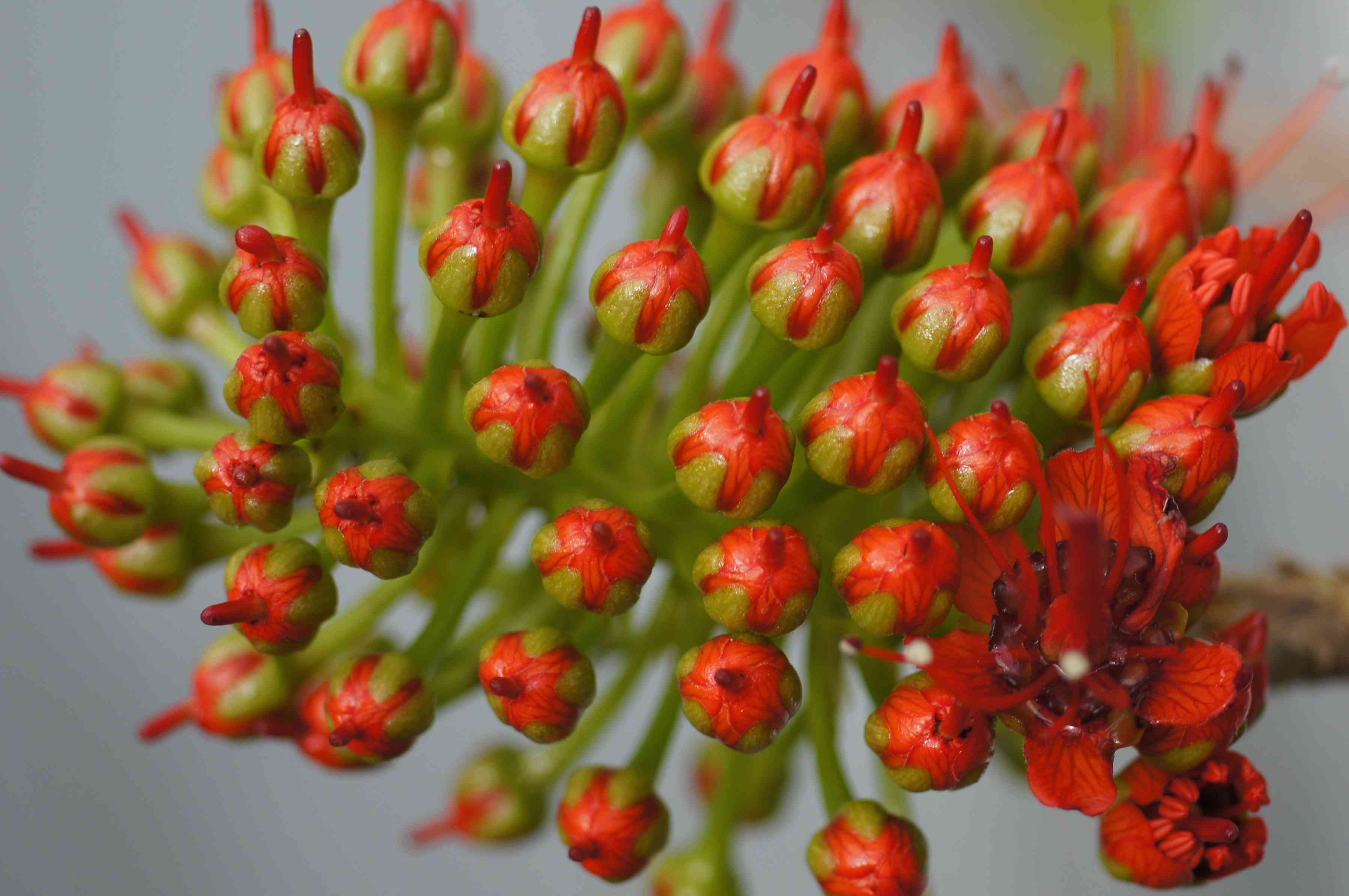Pagoda plant (Clerodendrum paniculatum) buds