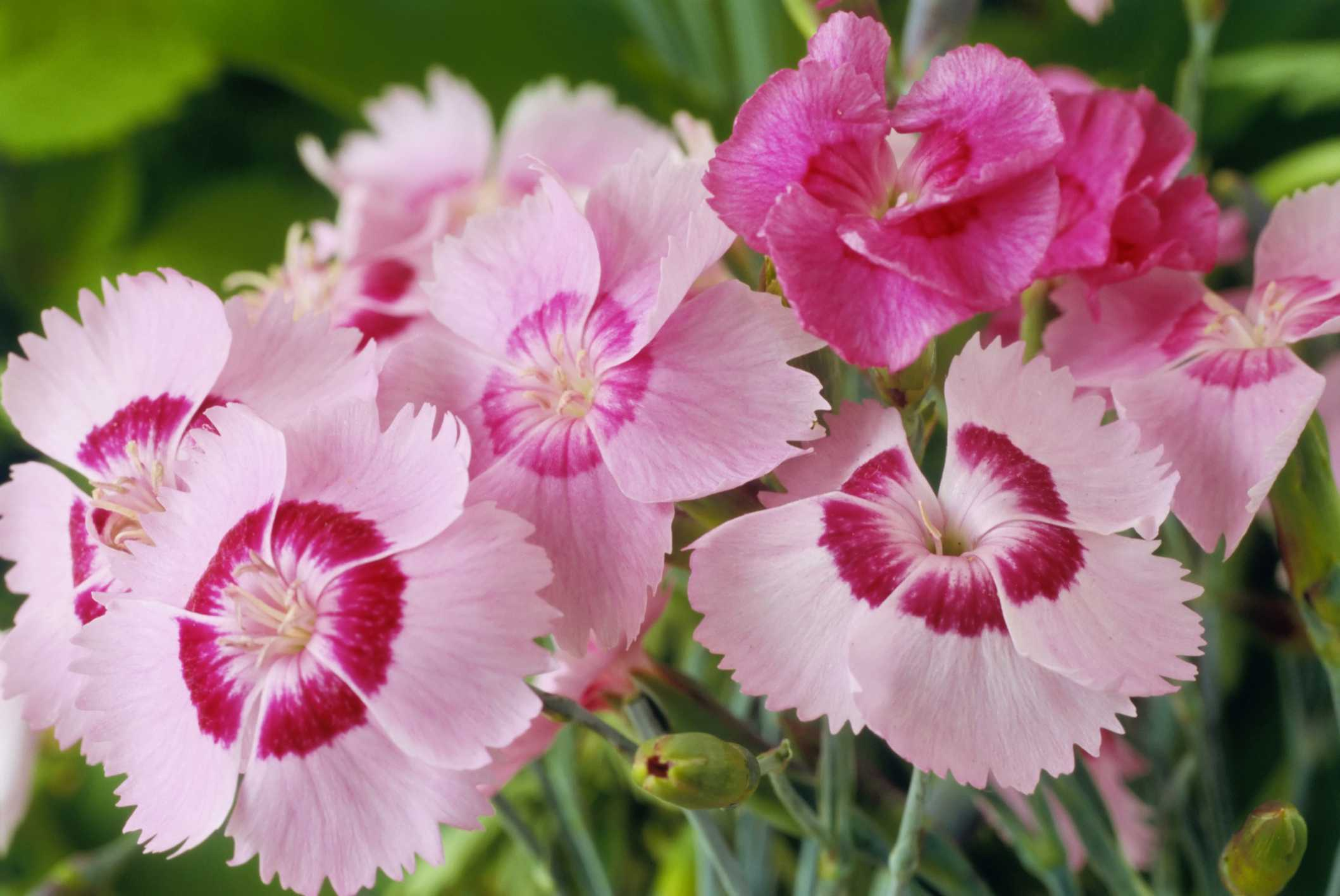 Pinks (Dianthus plumarius)