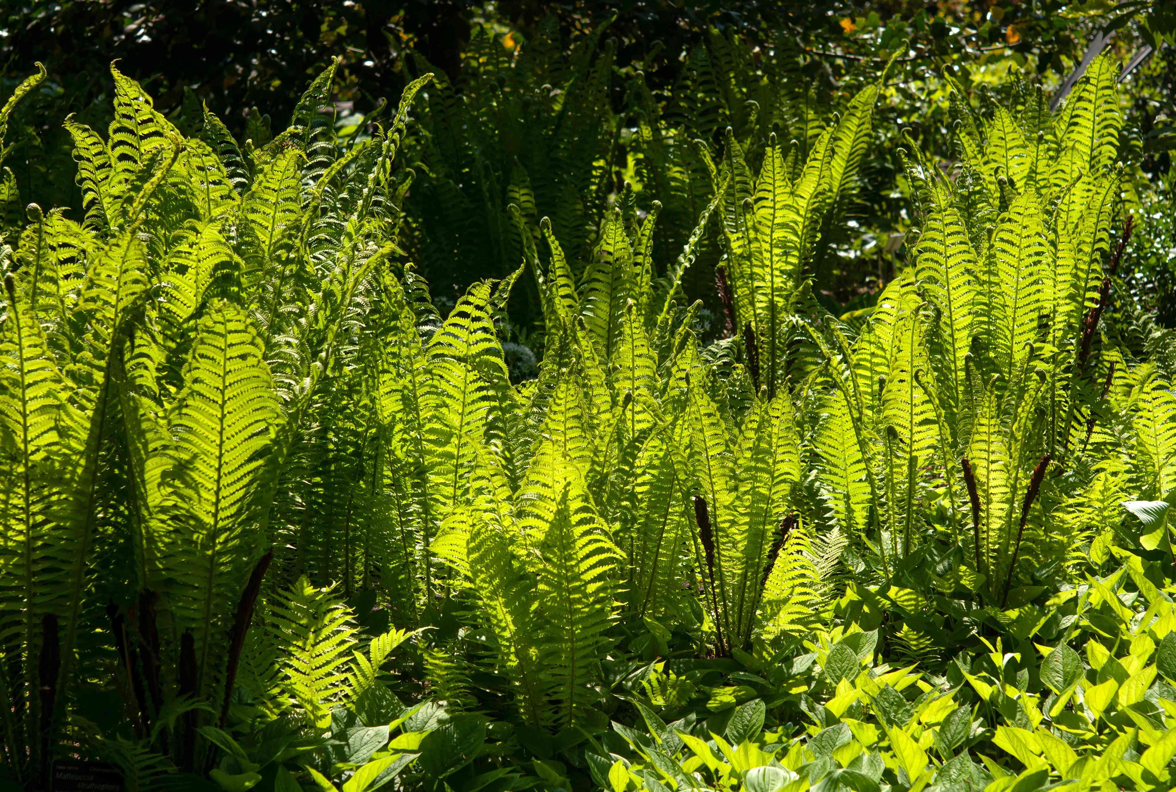 Ostrich fern bushes growing in sunlight