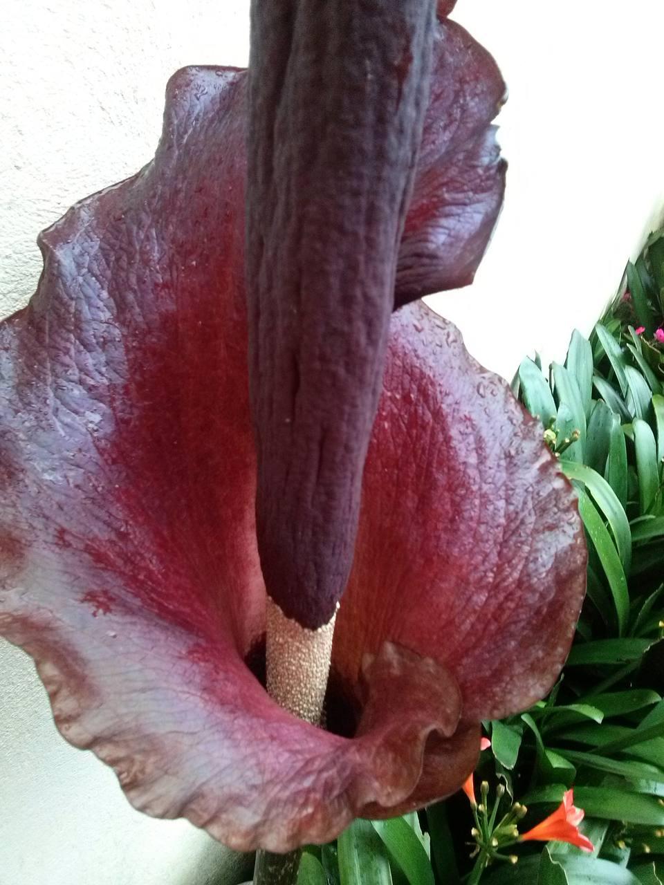 Snake Lily (Armorphophallus konjac)