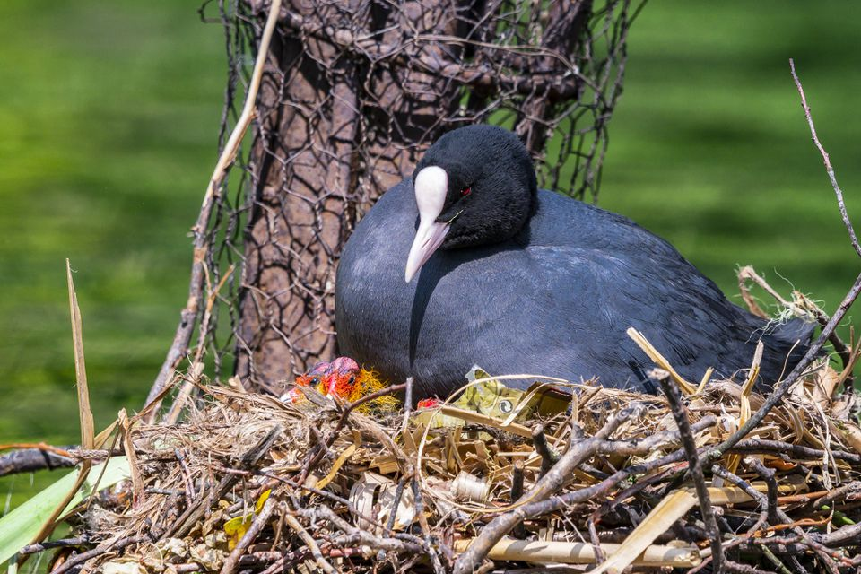 coot sitting on a nest