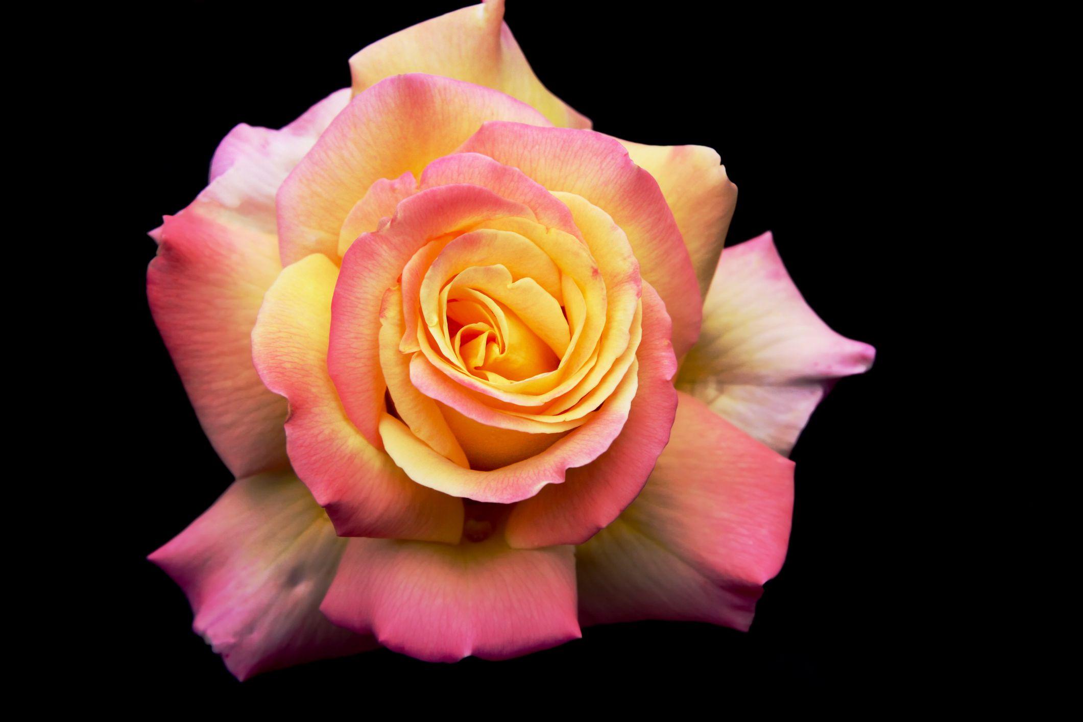 Closeup of Peace rose flower.