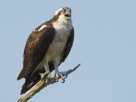 How Birders Identify Osprey