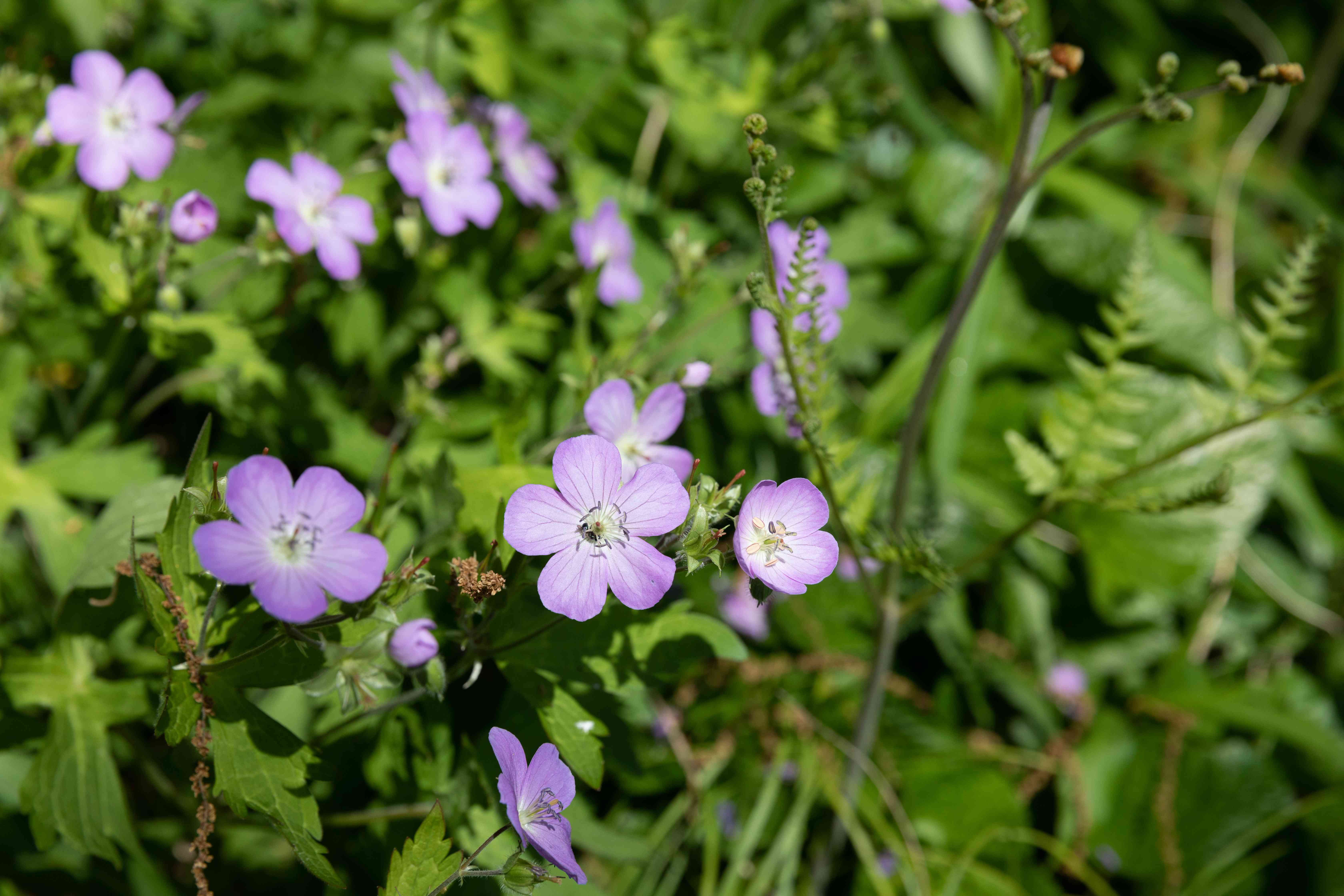 Geranium plant with small purple flowers surrounded by leaves in sunlight