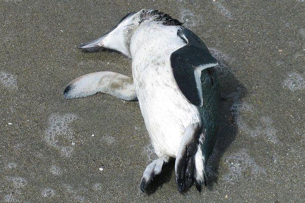 dead-penguin-lg.jpg
