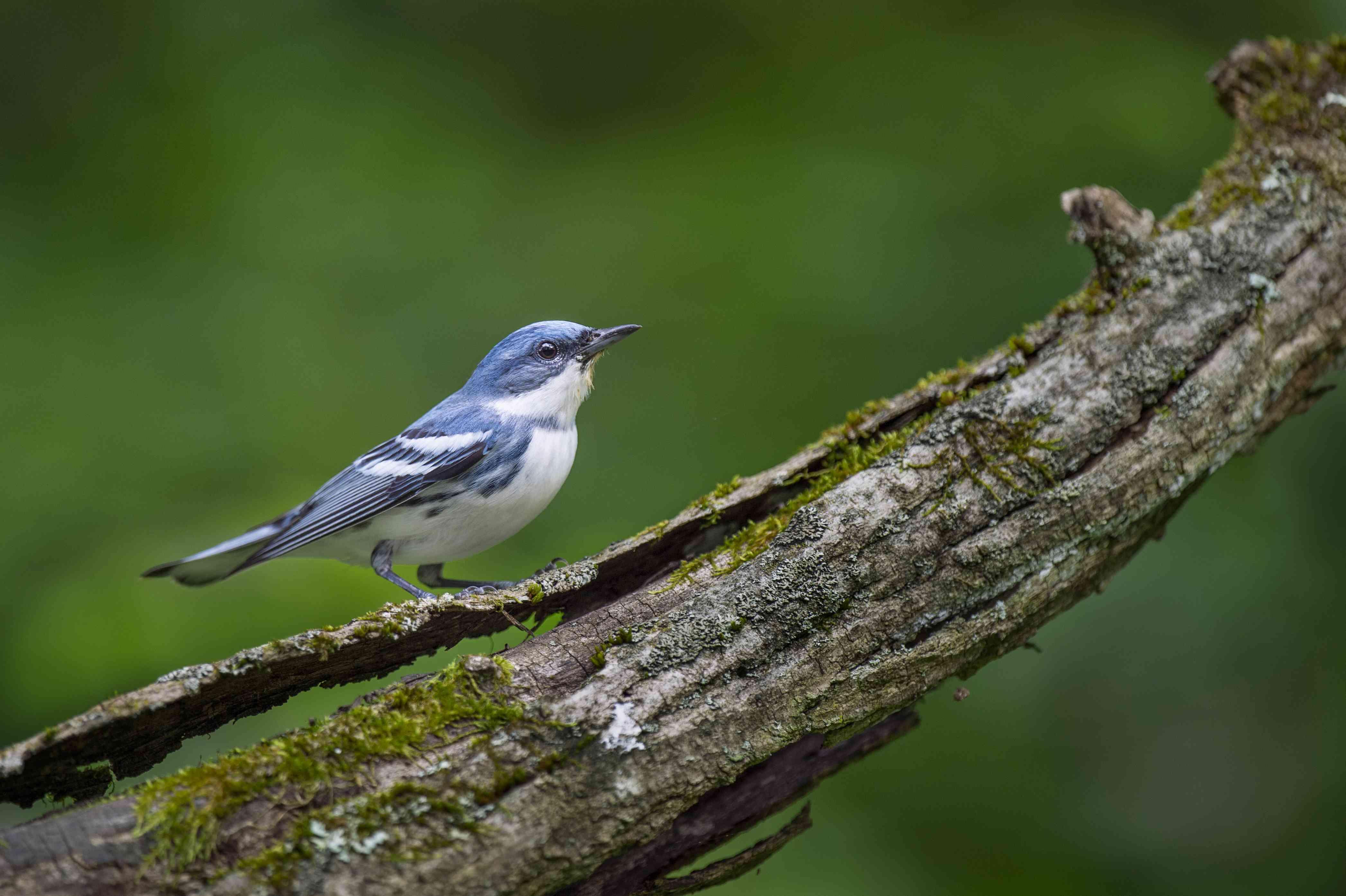 Cerulean Warbler Portrait