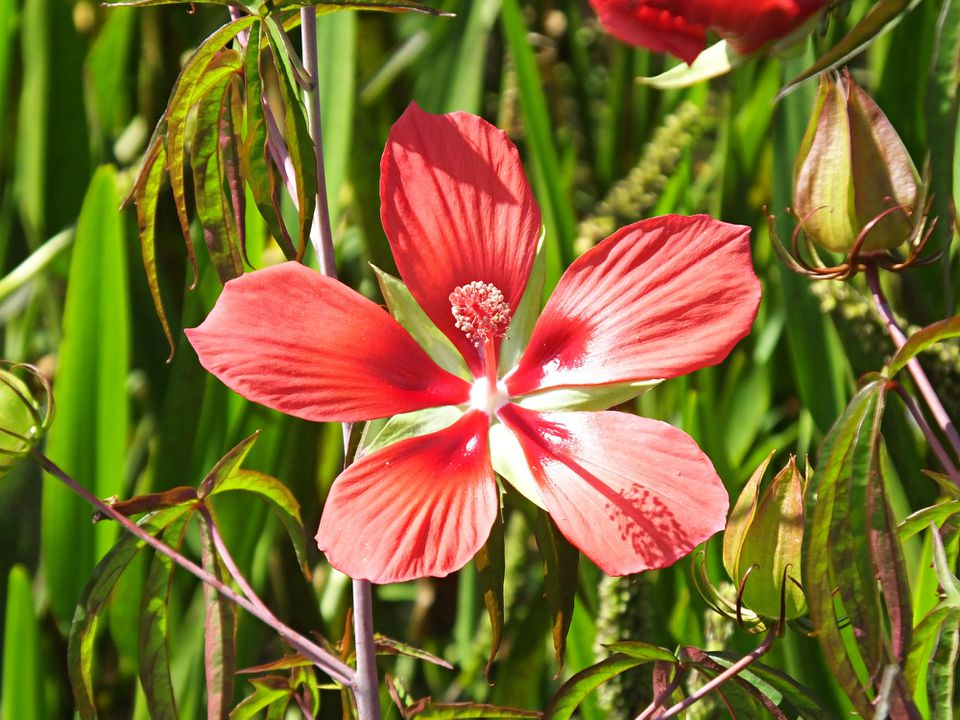 A Swamp Hibiscus Flower close up in a marsh area