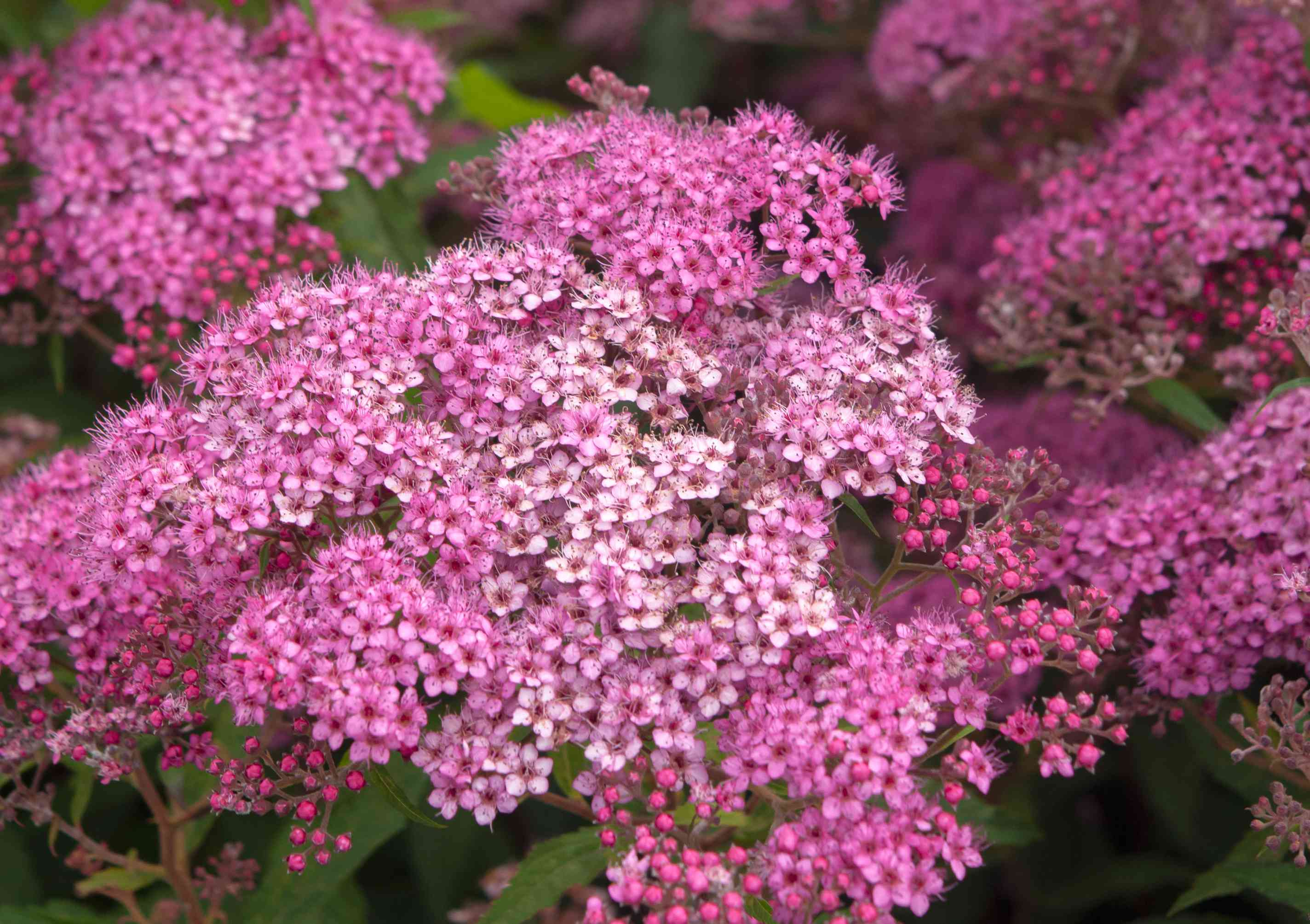 Neon flash spirea shrub with deep and light pink flower clusters and buds