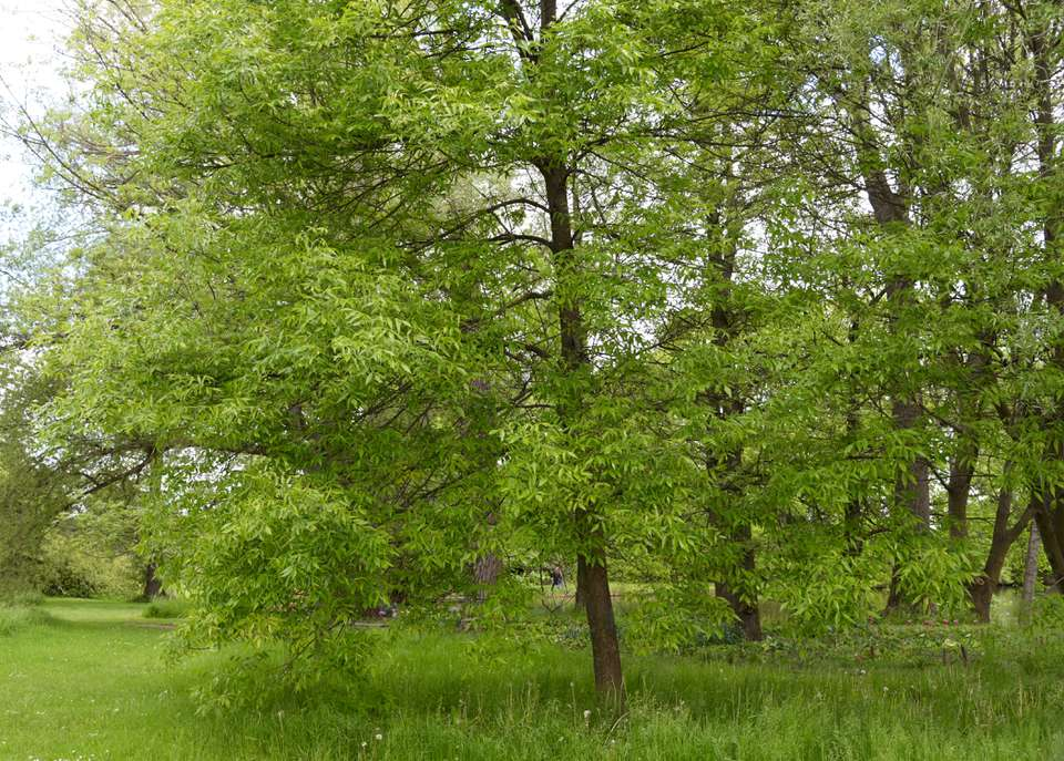 Green ash trees in middle of field