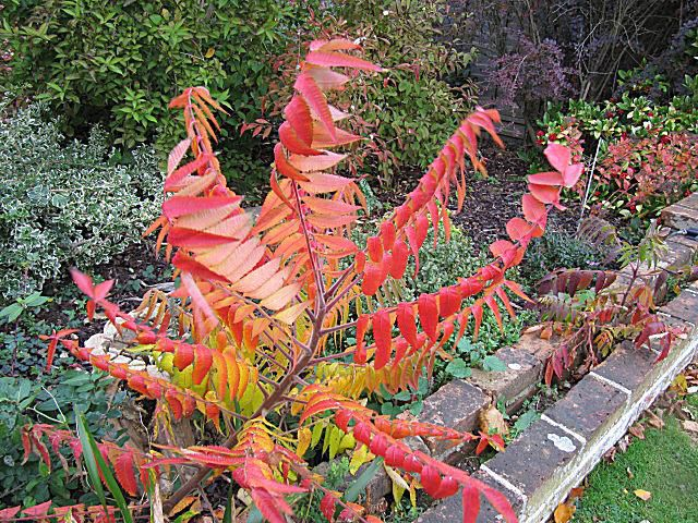 Picture of Staghorn Sumac