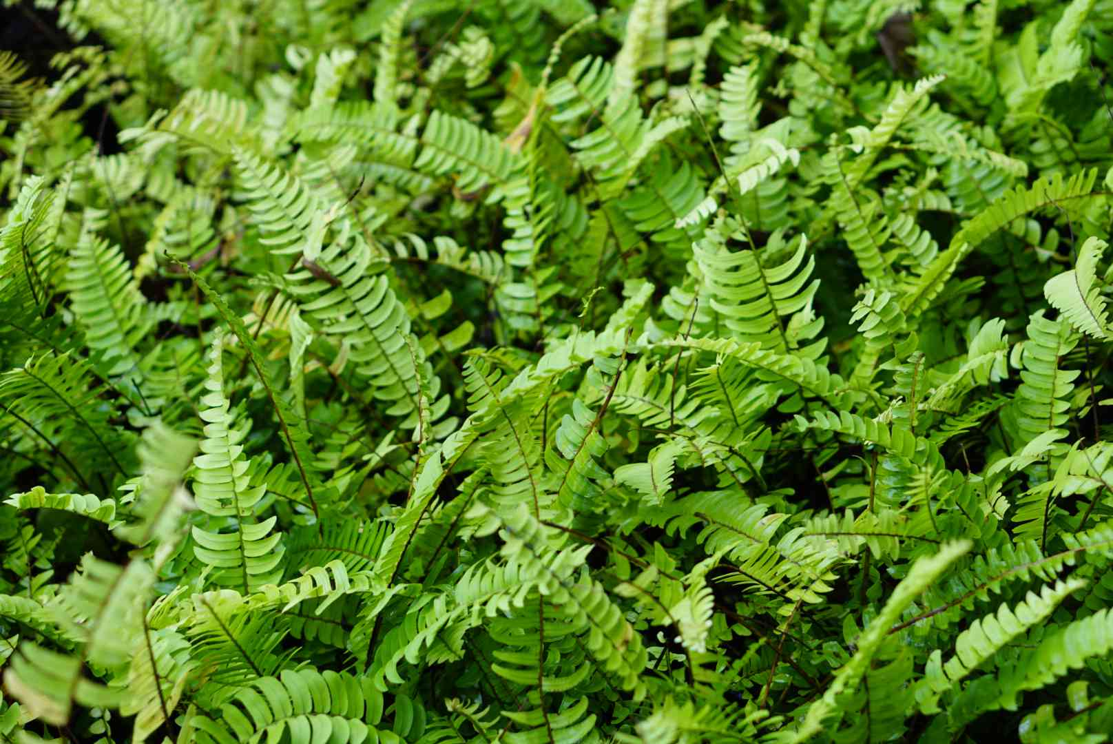 Kimberley queen fern fronds and leaves planted in ground