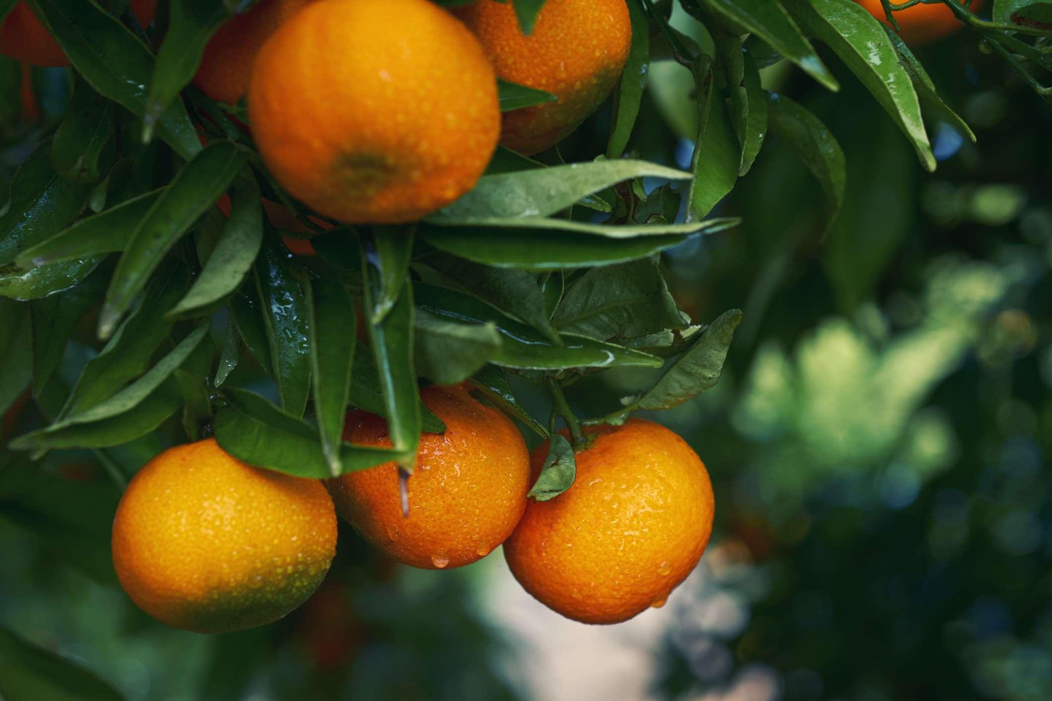 Ganz und zu Extrem Common Citrus Fruits and Where They Grow #EZ_14