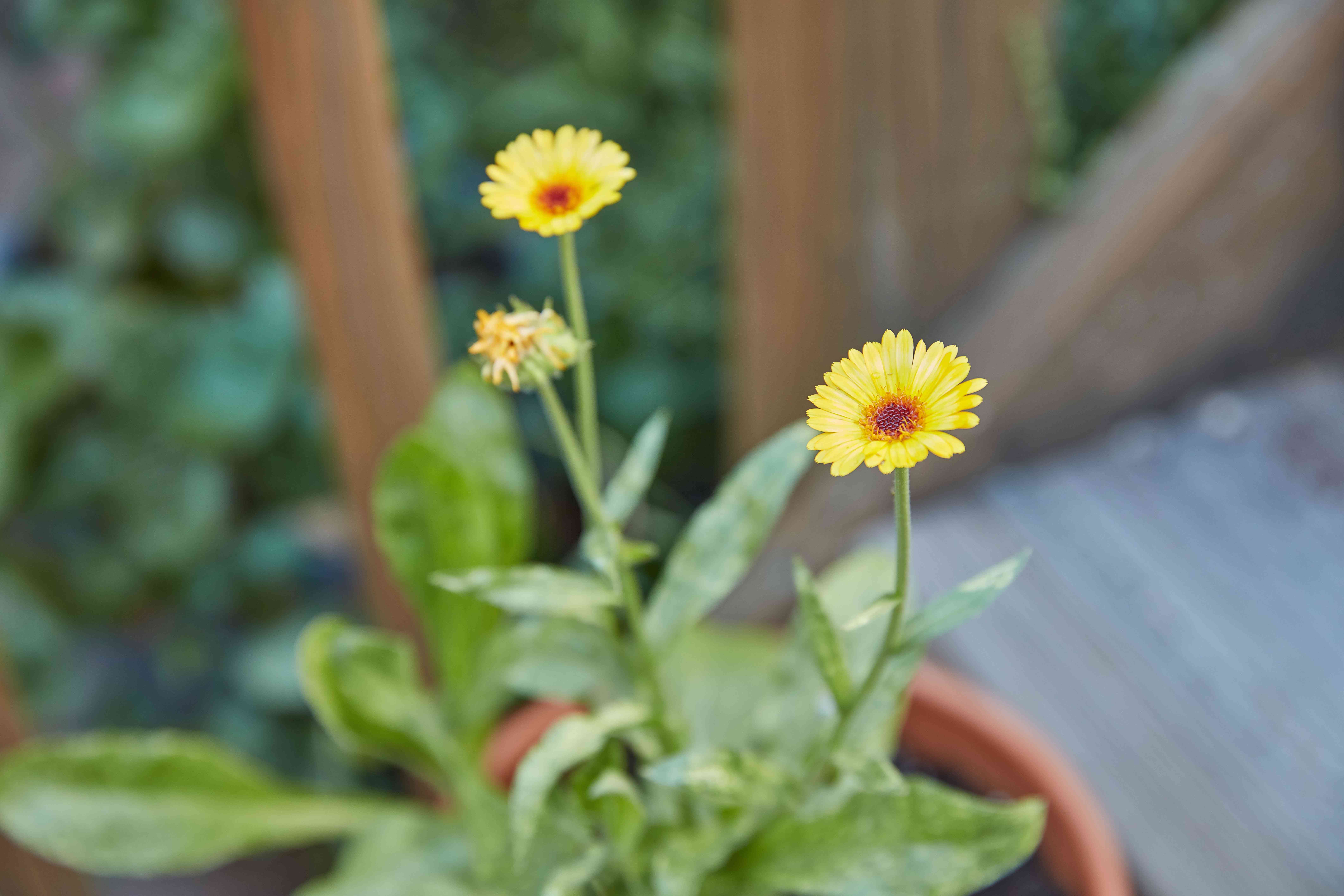 daisy-like calendula flowers