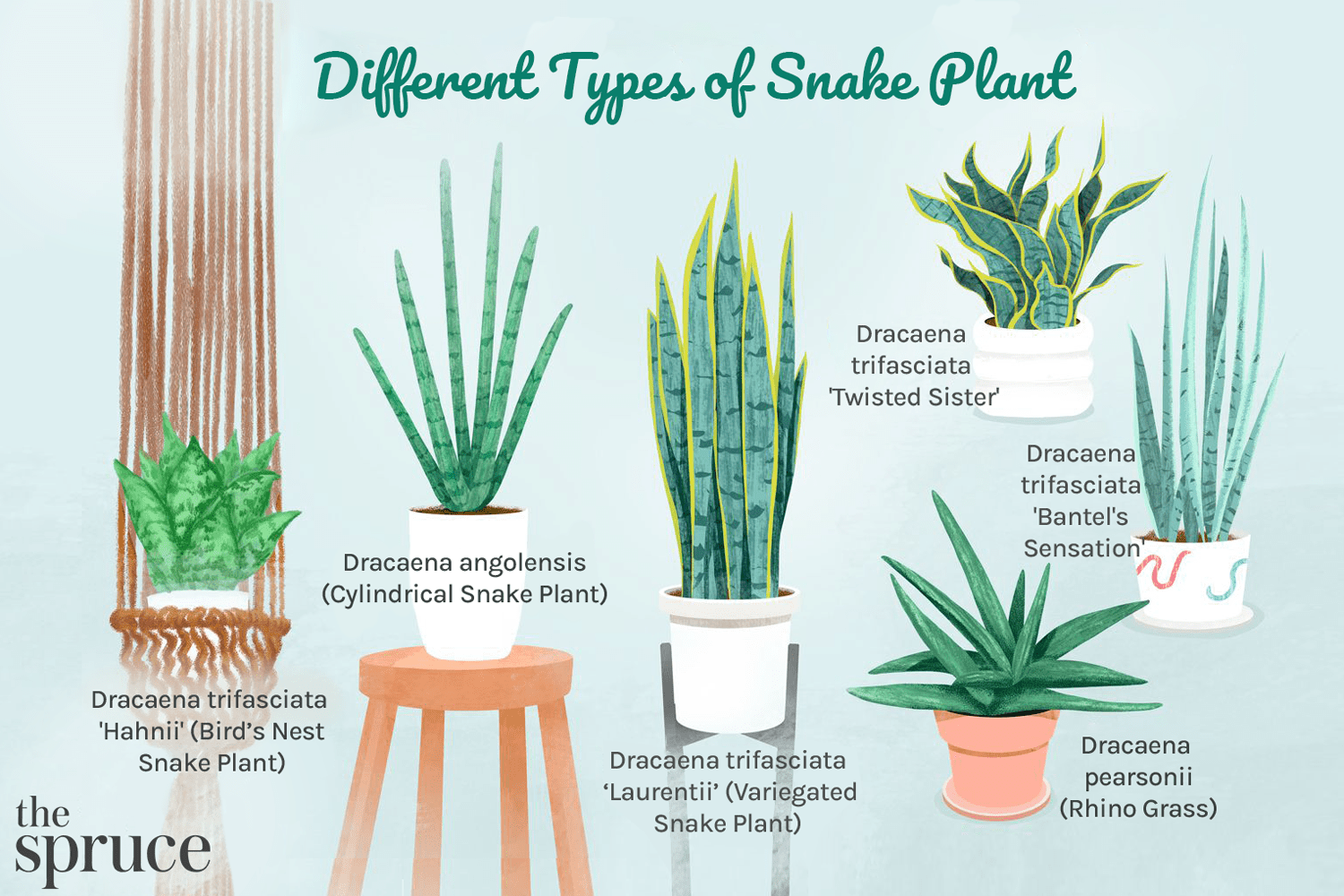 Different Types of Snake Plant