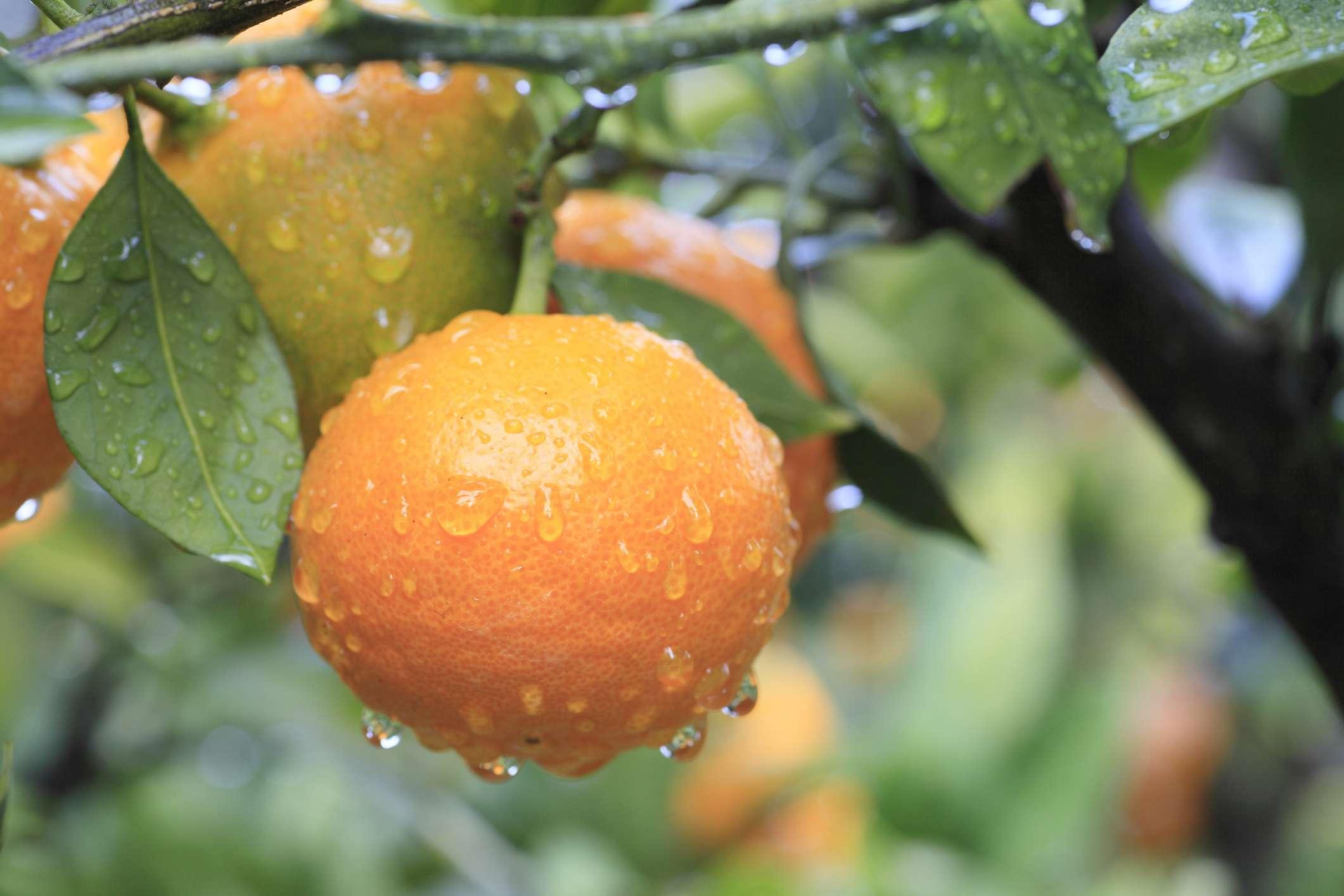 Tangerine tree with tangerines on it.