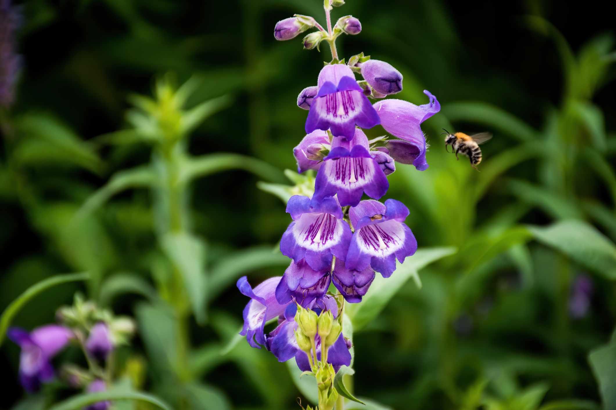 Primer plano de una lengua de barba púrpura - Penstemon - planta de flor polinizada por una abeja