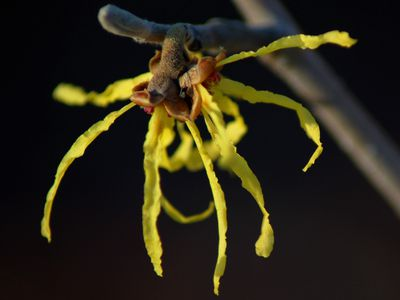 10 best shrubs with yellow flowers witch hazel shrubs and trees are early blooming plants mightylinksfo