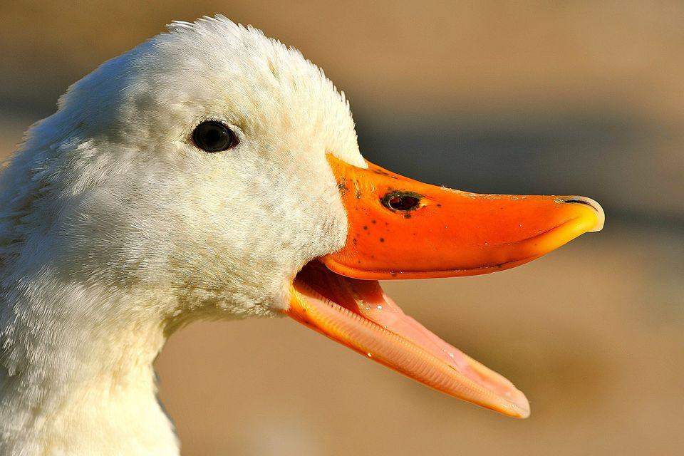 A duck's bill