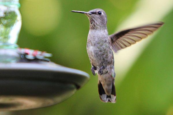 Hummingbird Flying to a Feeder