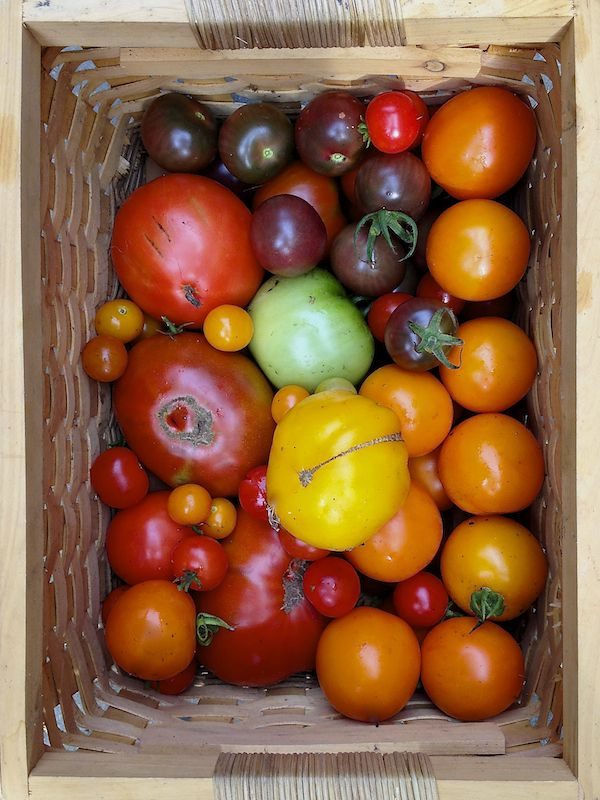 photo of basket of tomatoes