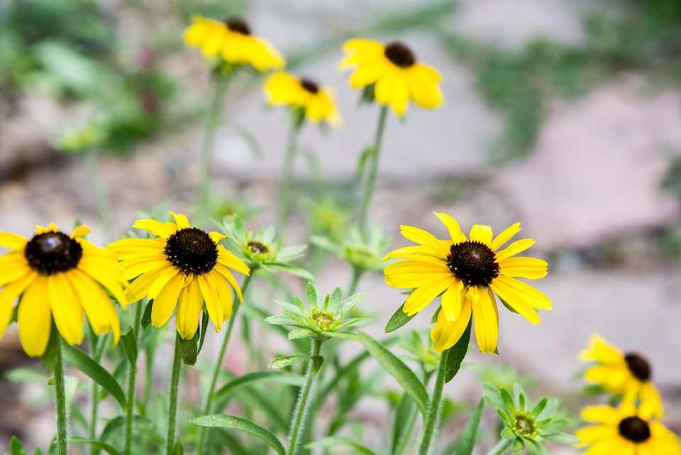Black-eyed Susans with brown centers and yellow petals