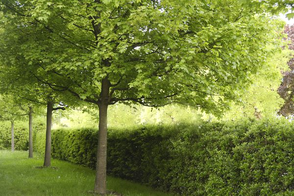 Hedge maple trees alongside trimmed bushes in home garden