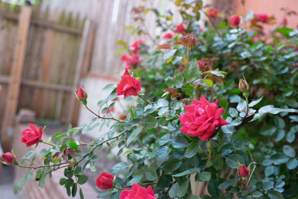 rosal en un jardín
