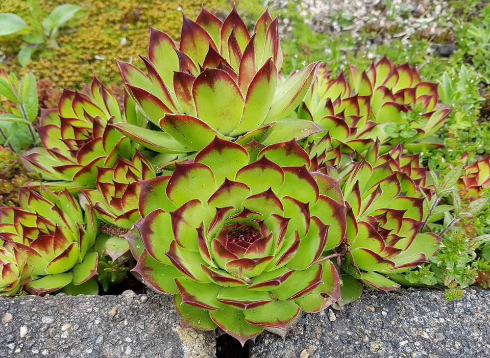 Sempervivum tectorum; Mountain plant; crassulaceae