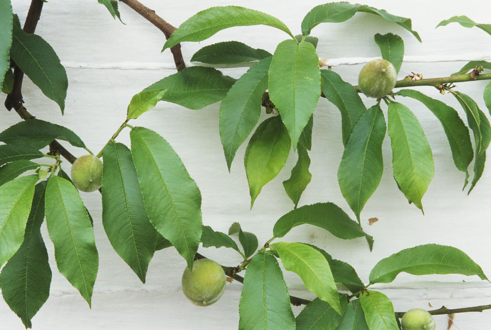 Green peaches on tree