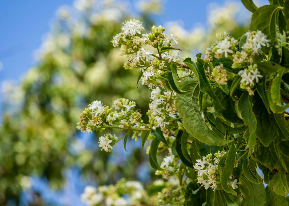 Close-up of flowering Heptacodium miconioides or Seven son flower trees in rest zone near the Bougainvillea fountain. Public landscape city park Krasnodar or 'Galitsky park' for relaxation and walking