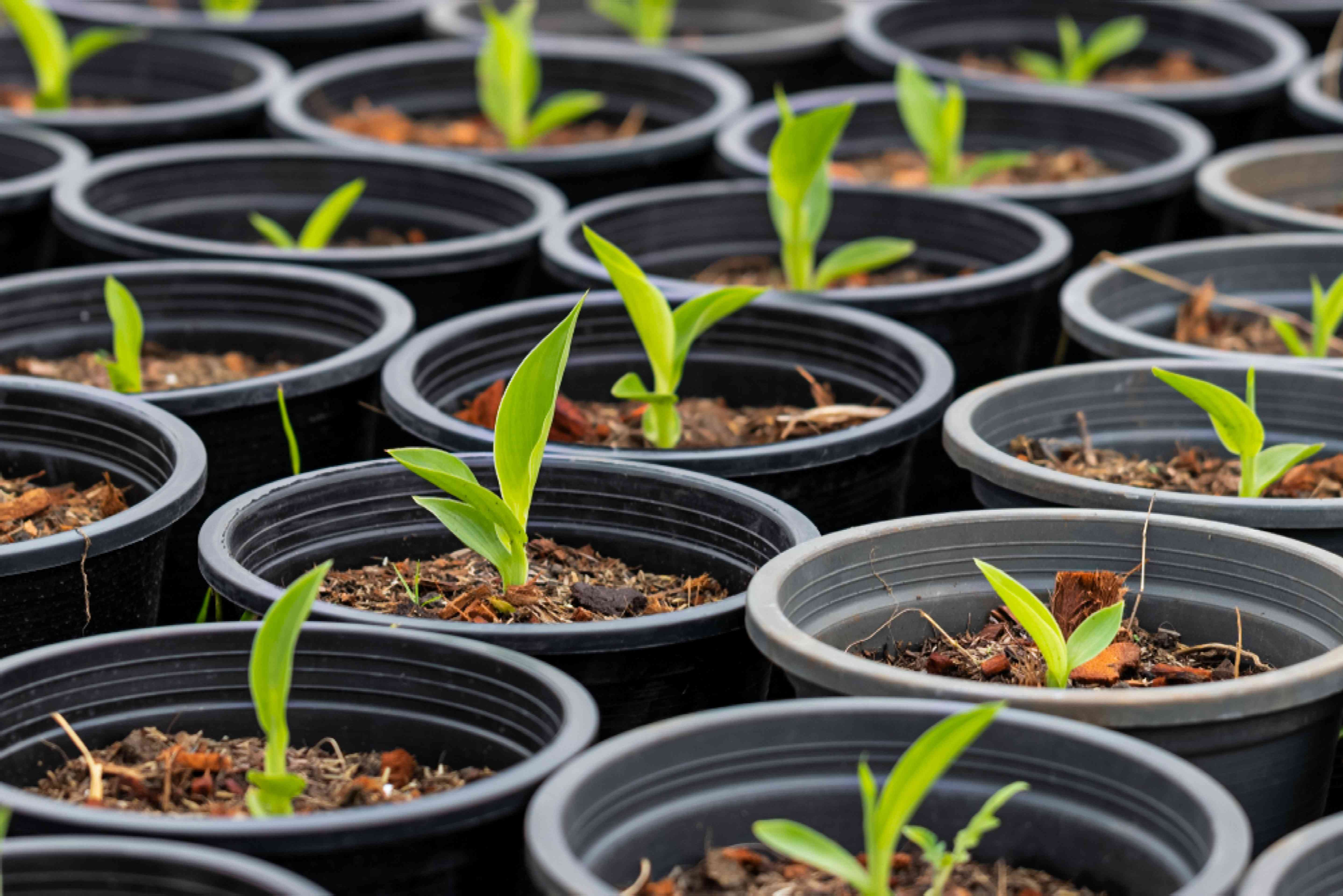 canna lily seedlings